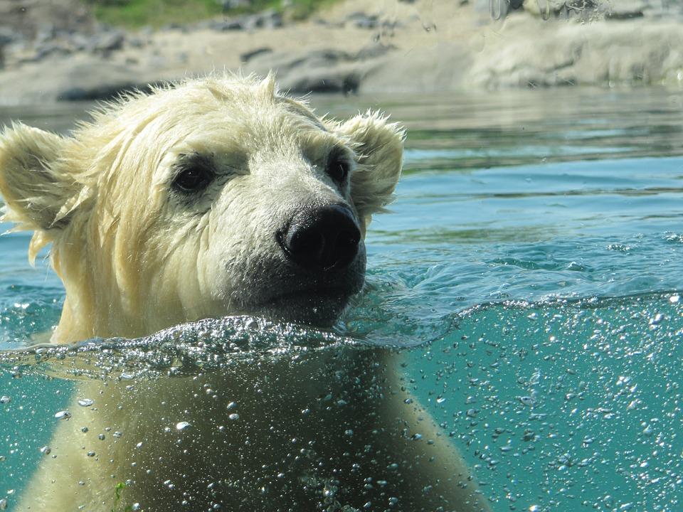 День белого медведя
