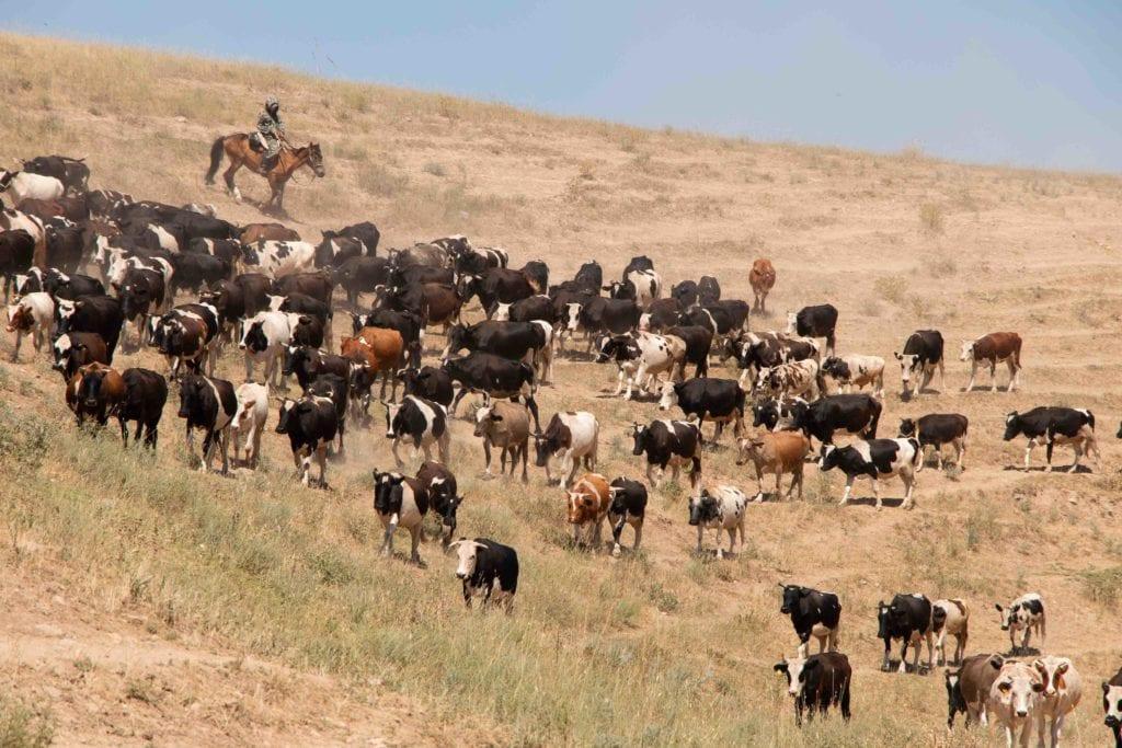 Скот идет на пастбище