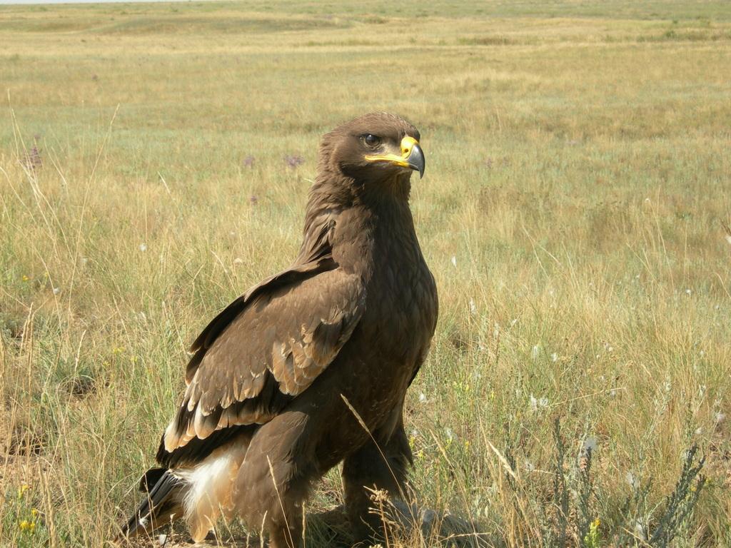 Степной орёл. Фотография Максима Кошкина